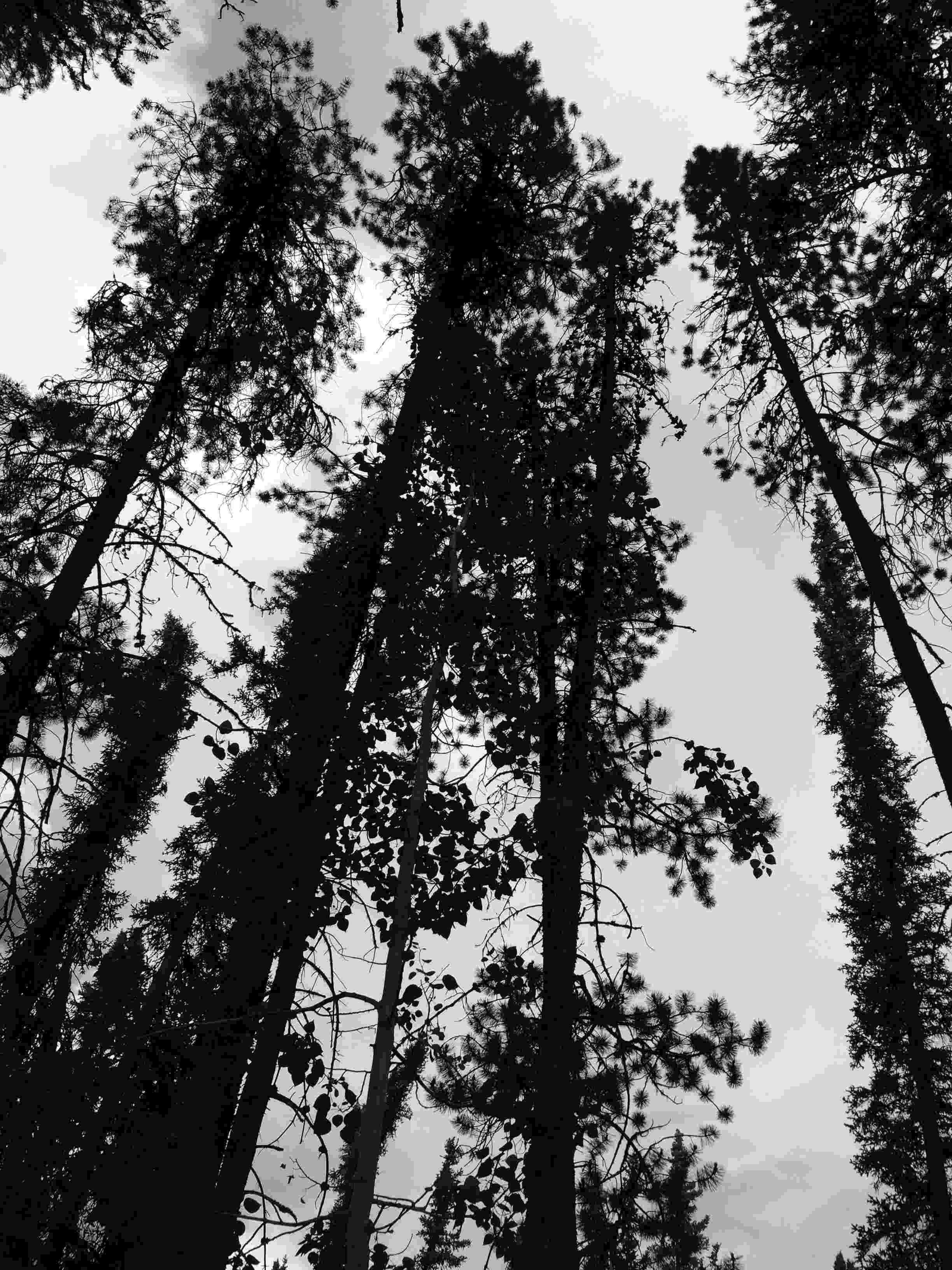 tall trees at Squanga Lake