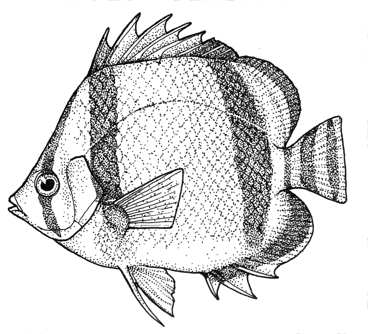 Three-banded butterflyfish