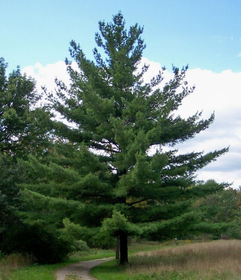 "We will work with the healing properties and spirit of white pine (pinus strobus). White pine has a long history of use in the eastern United States and is considered to be the ""tree of peace"". Medicine made from white pine is antiseptic, healing for the respiratory system, beneficial for the immune system and extremely high in vitamin C. -"