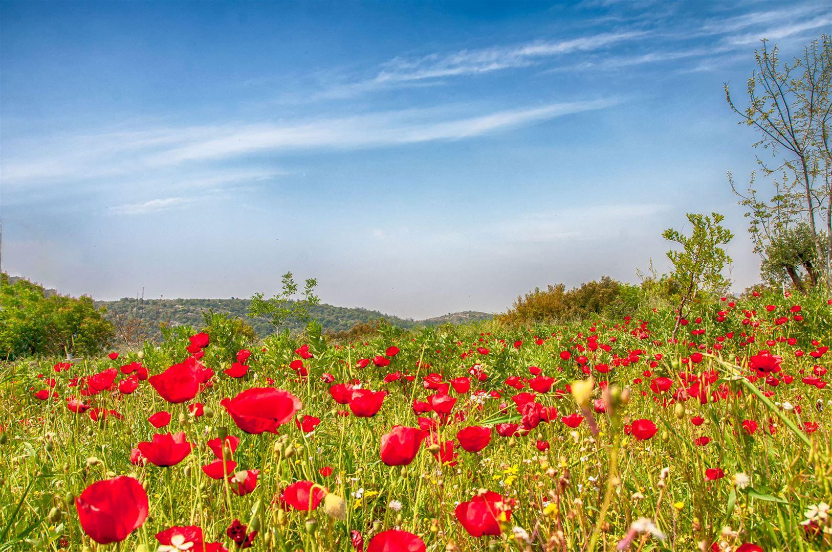 Tulip Fields, North Lebanon.jpg