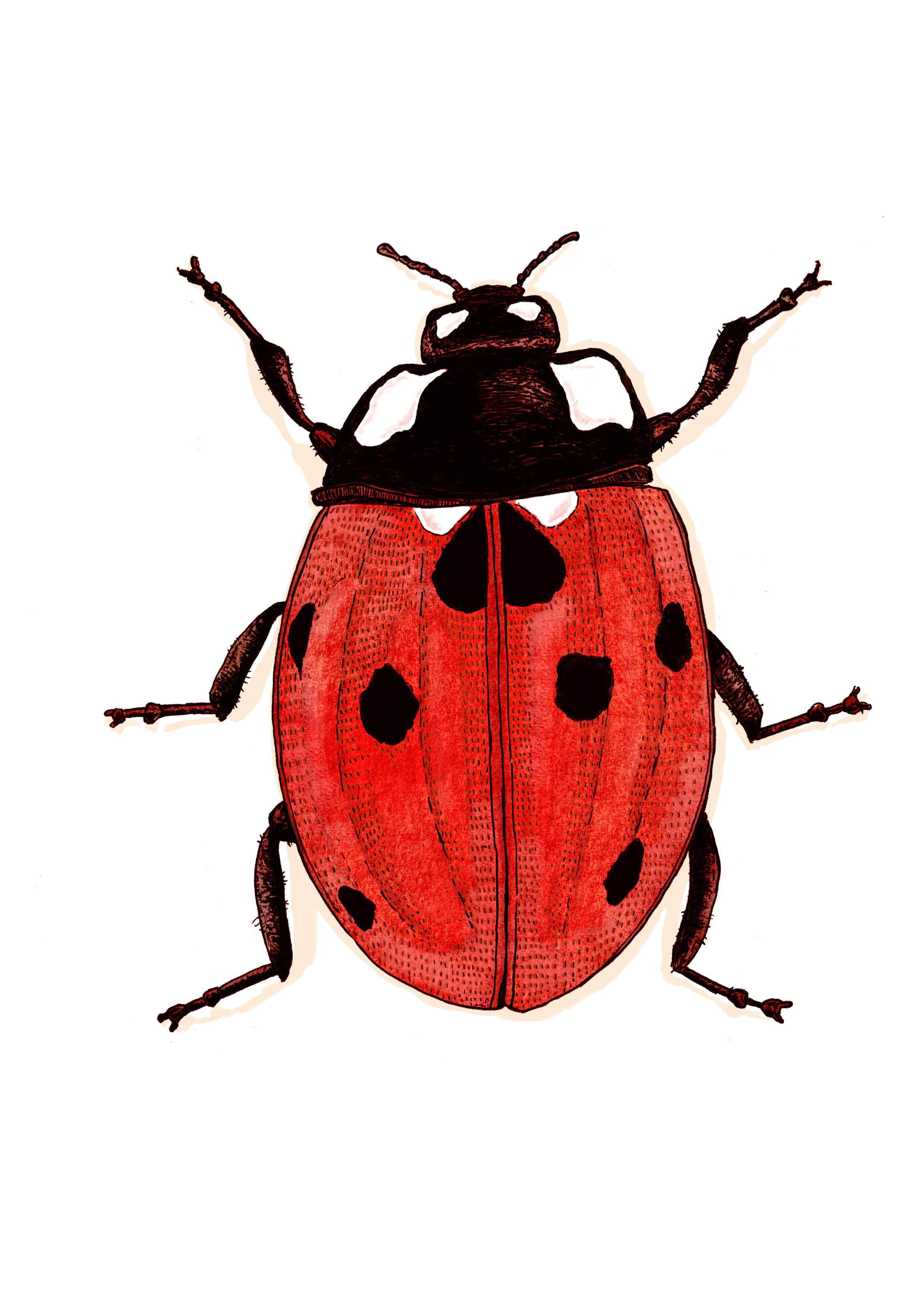 Ladybird .jpg