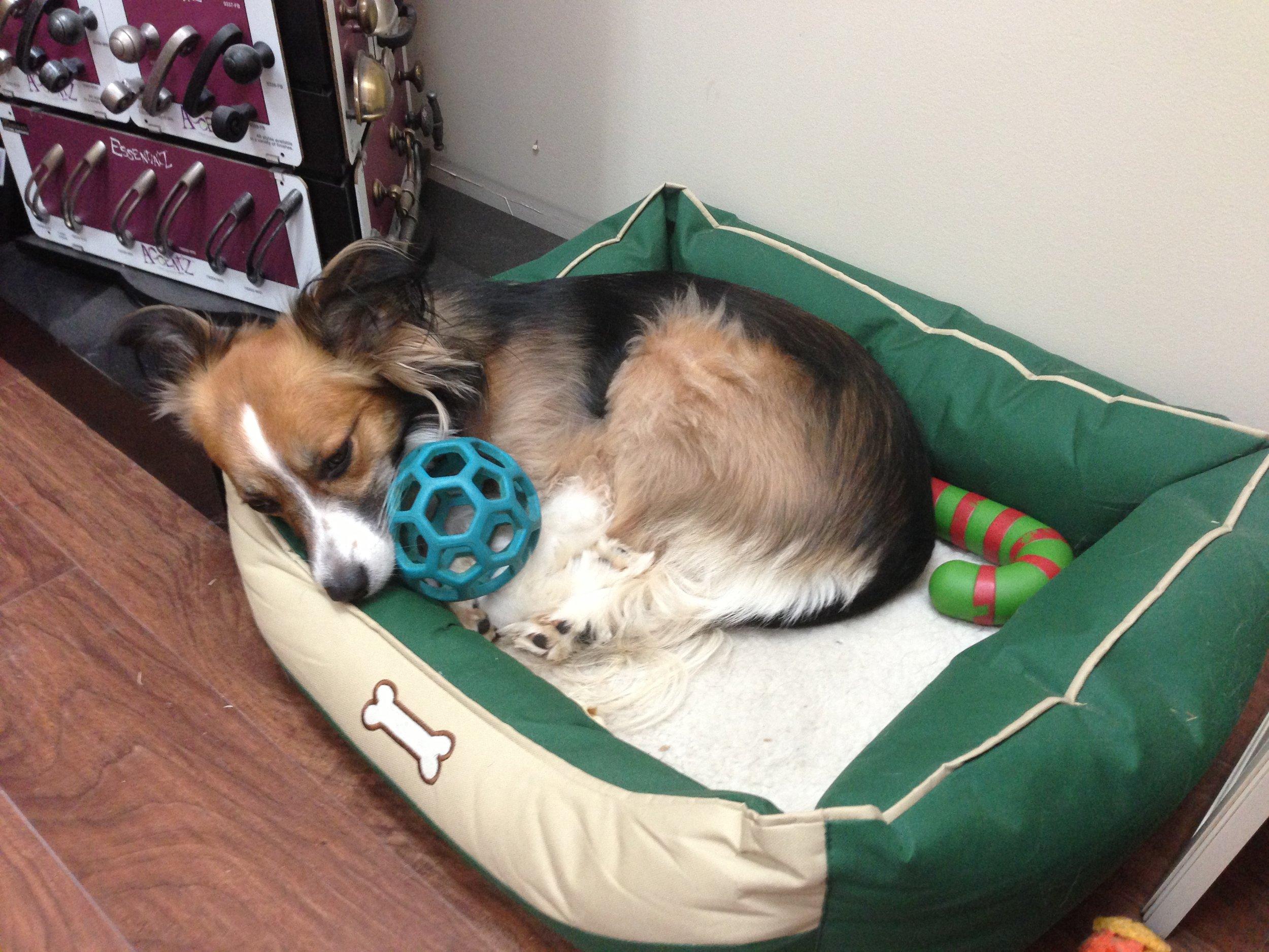 Molly (Adams)  Showroom Guard Dog