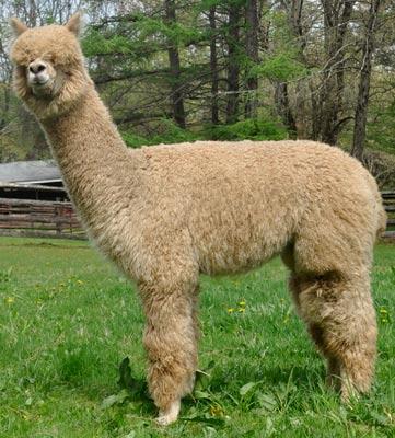 alpacas-ohmy.jpg