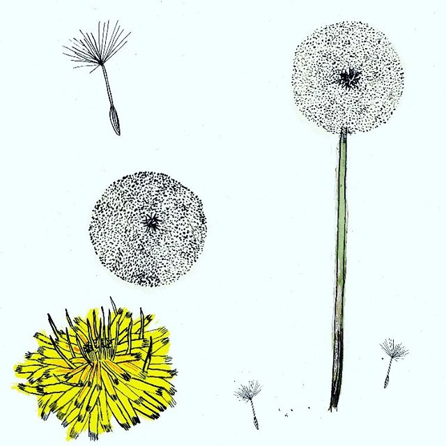 Sunday strolls #wildlife #artist #illustration #illustrator #ink #flowers #dandelion