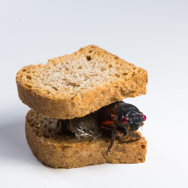 Cicada Lunch