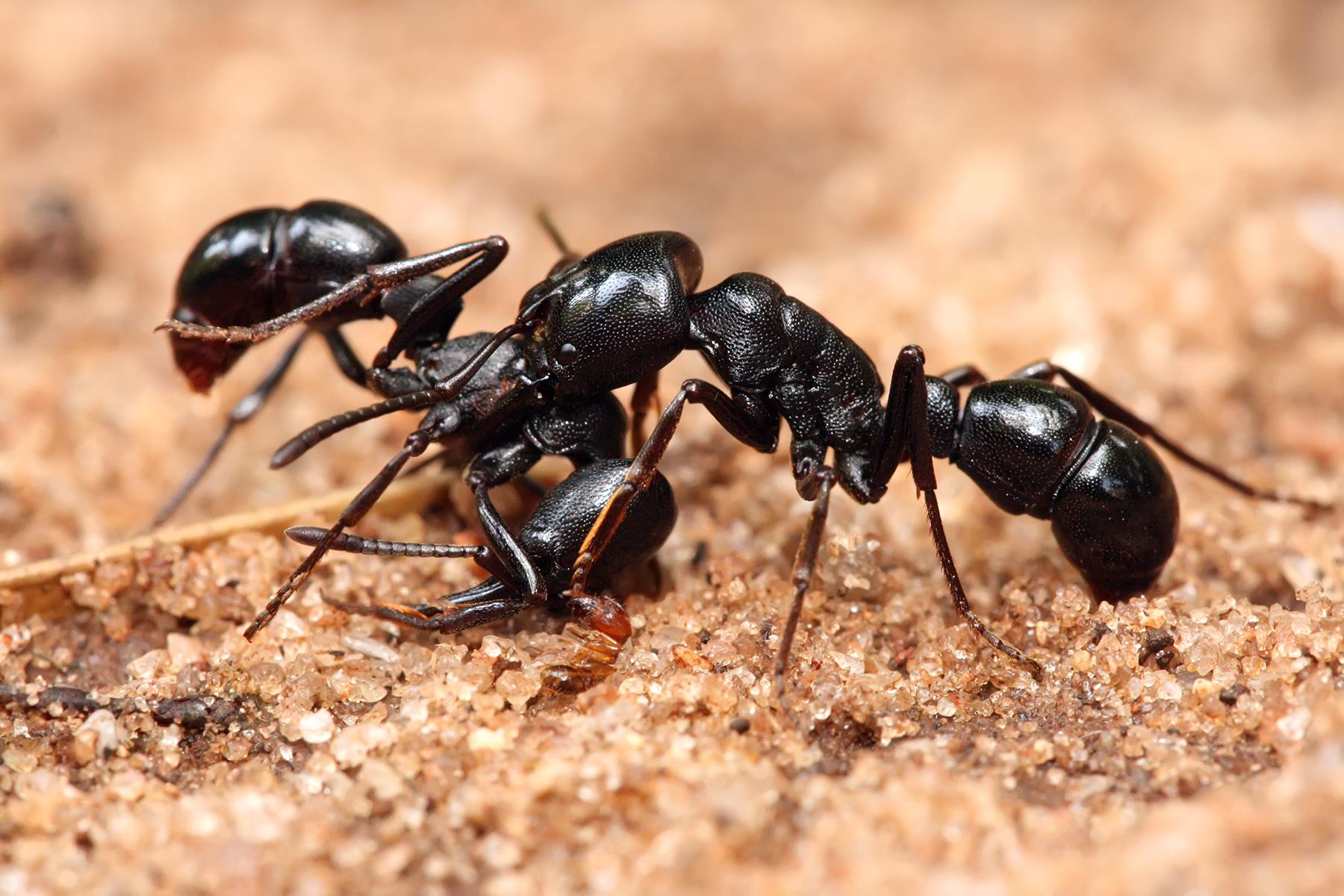 Plectroctena_sp_ants.jpg