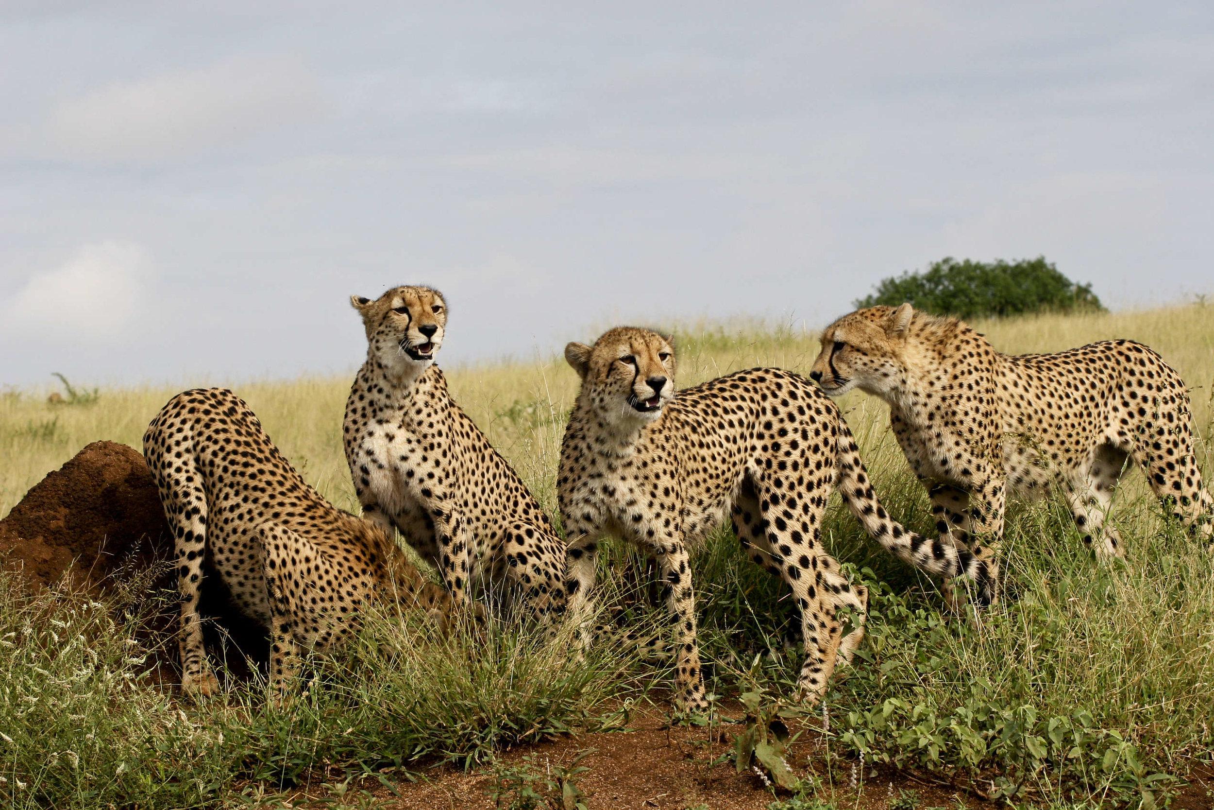 Geparden-Namibia.jpg