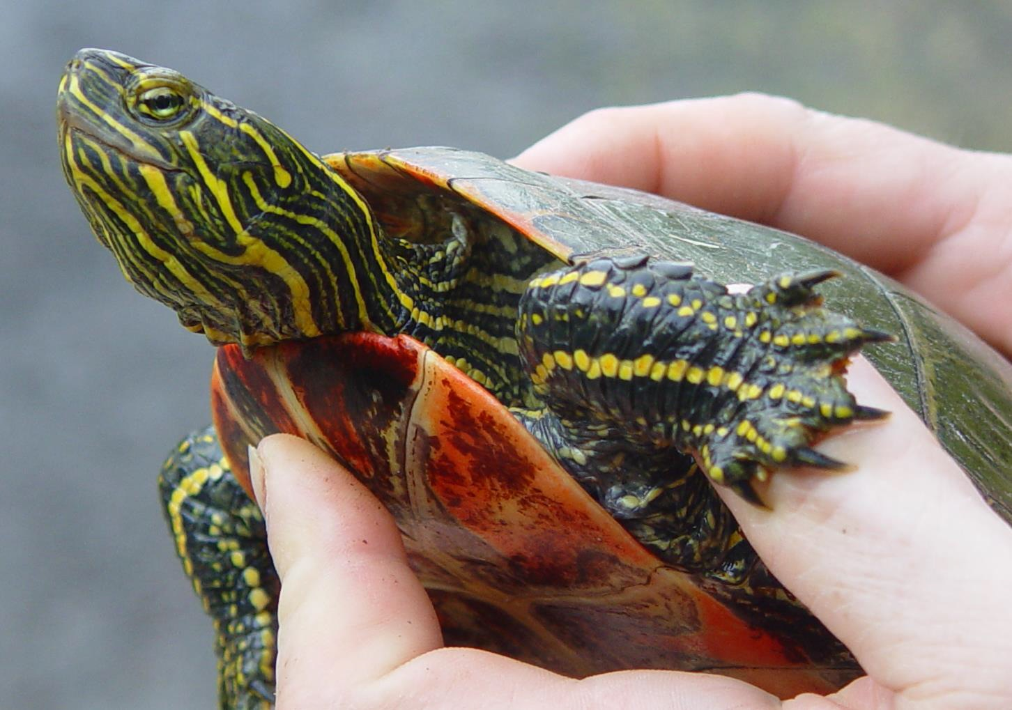 Western painted turtle (photo: Grace Alfieri)
