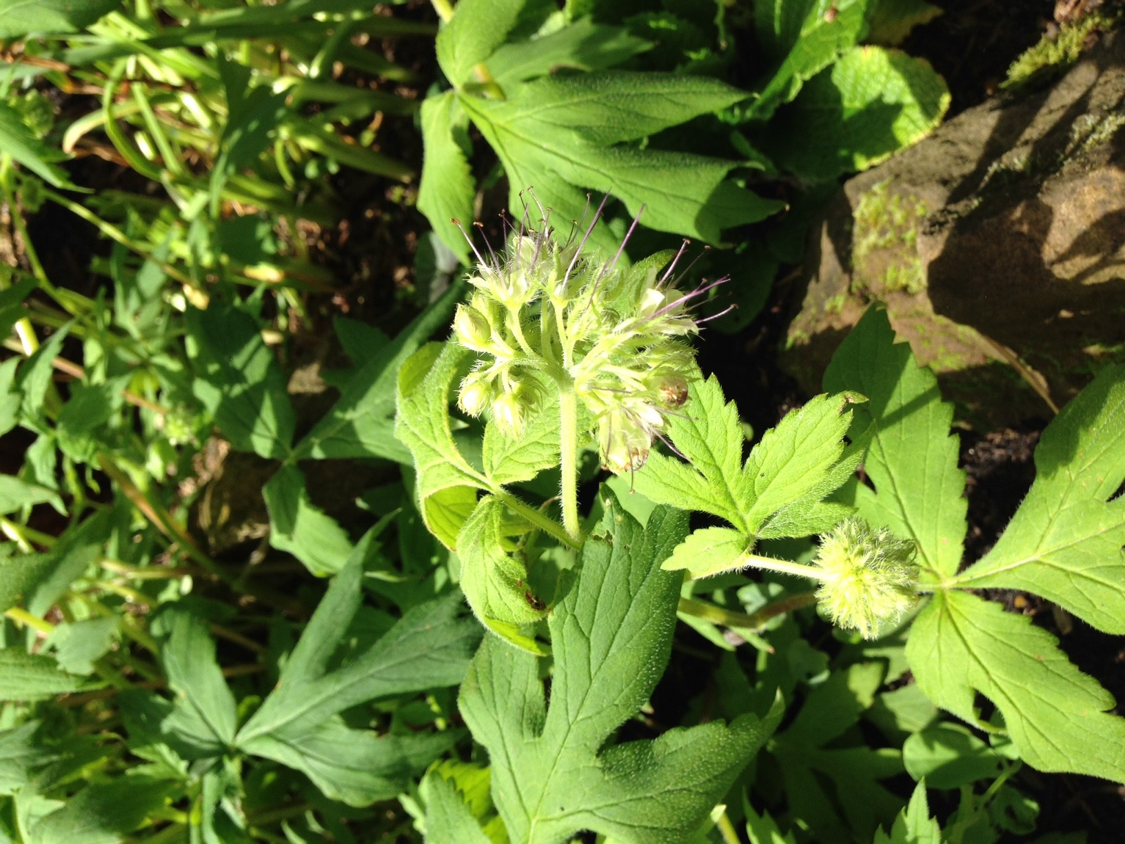 Pacific Waterleaf is an ideal native to plant in your backyard — easy to care for and bees love it.