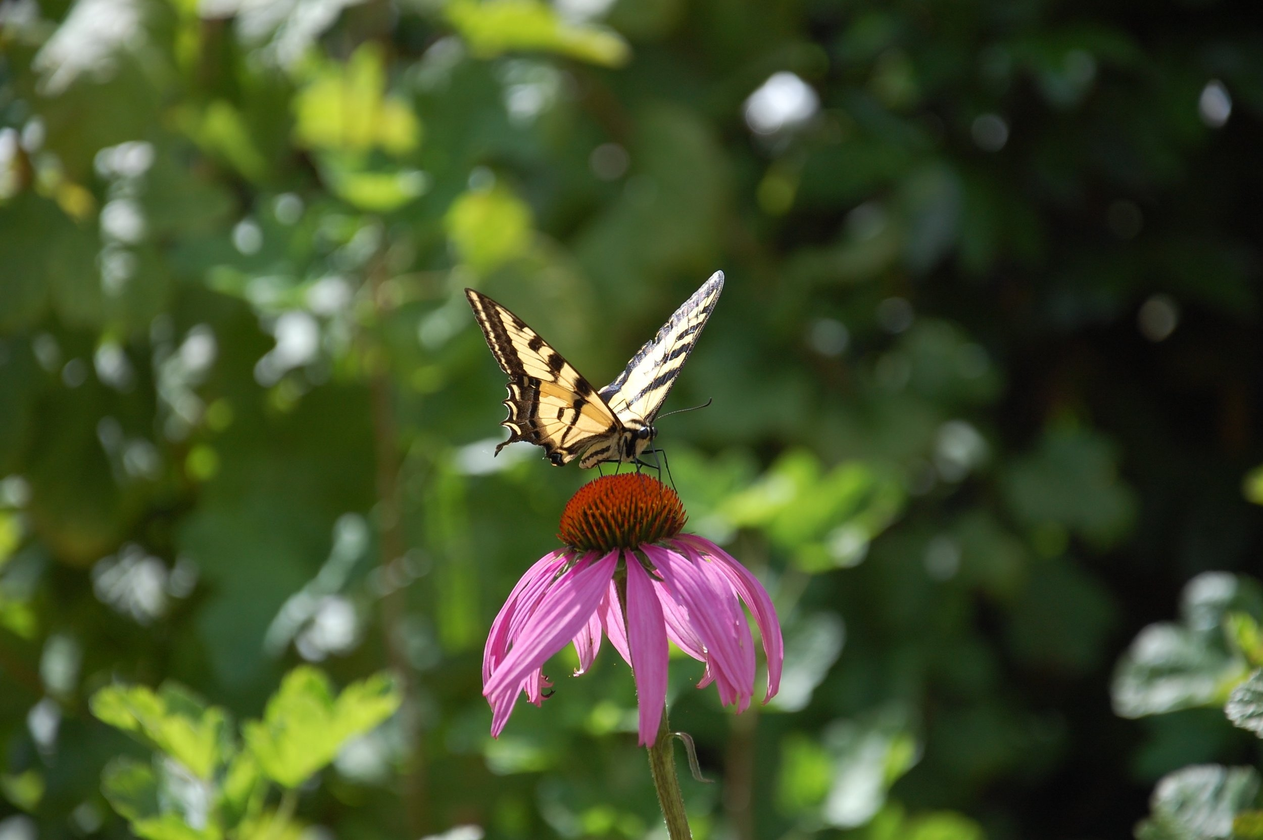 A swallowtail butterfly lands on a vibrant flower at Jackson Bottom Wetlands, showing how simple the relationship between plants and animals can be in the natural areas that we explore.