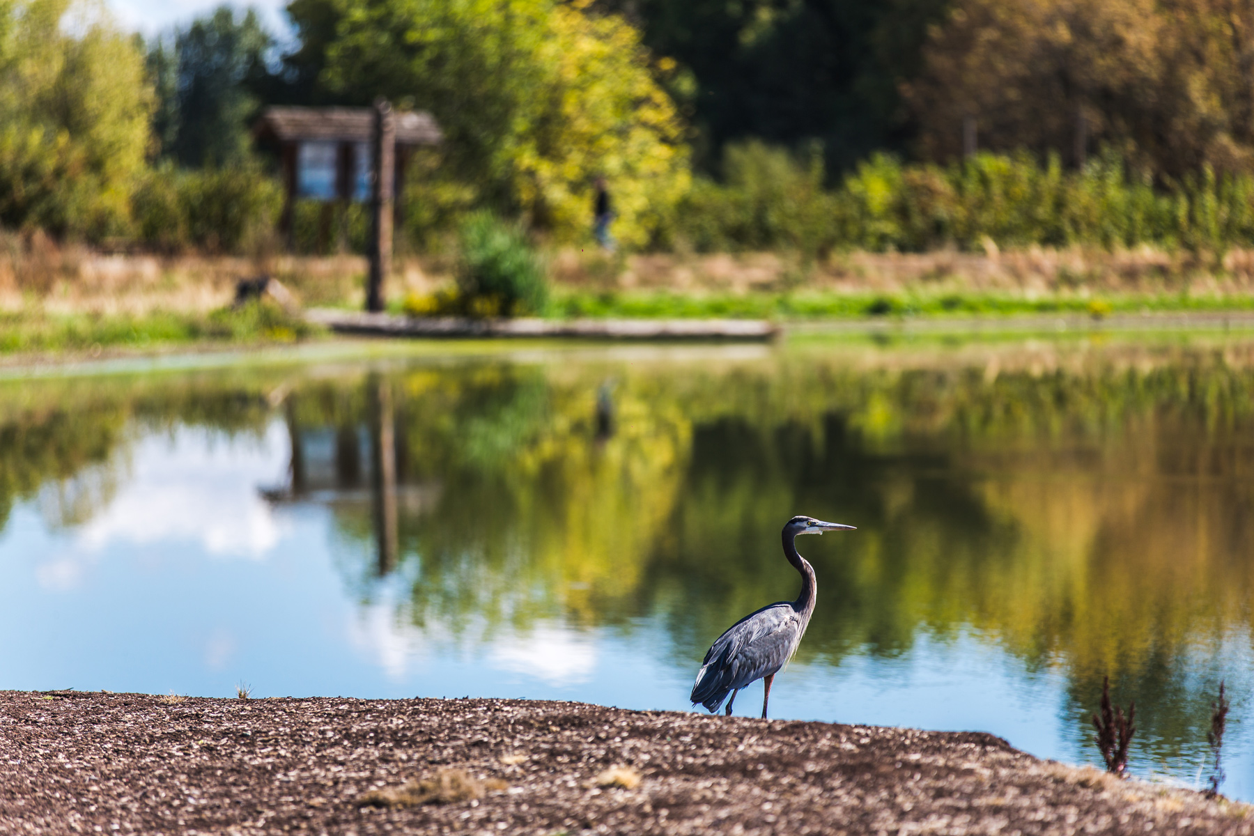 Heron_by_trail.jpg