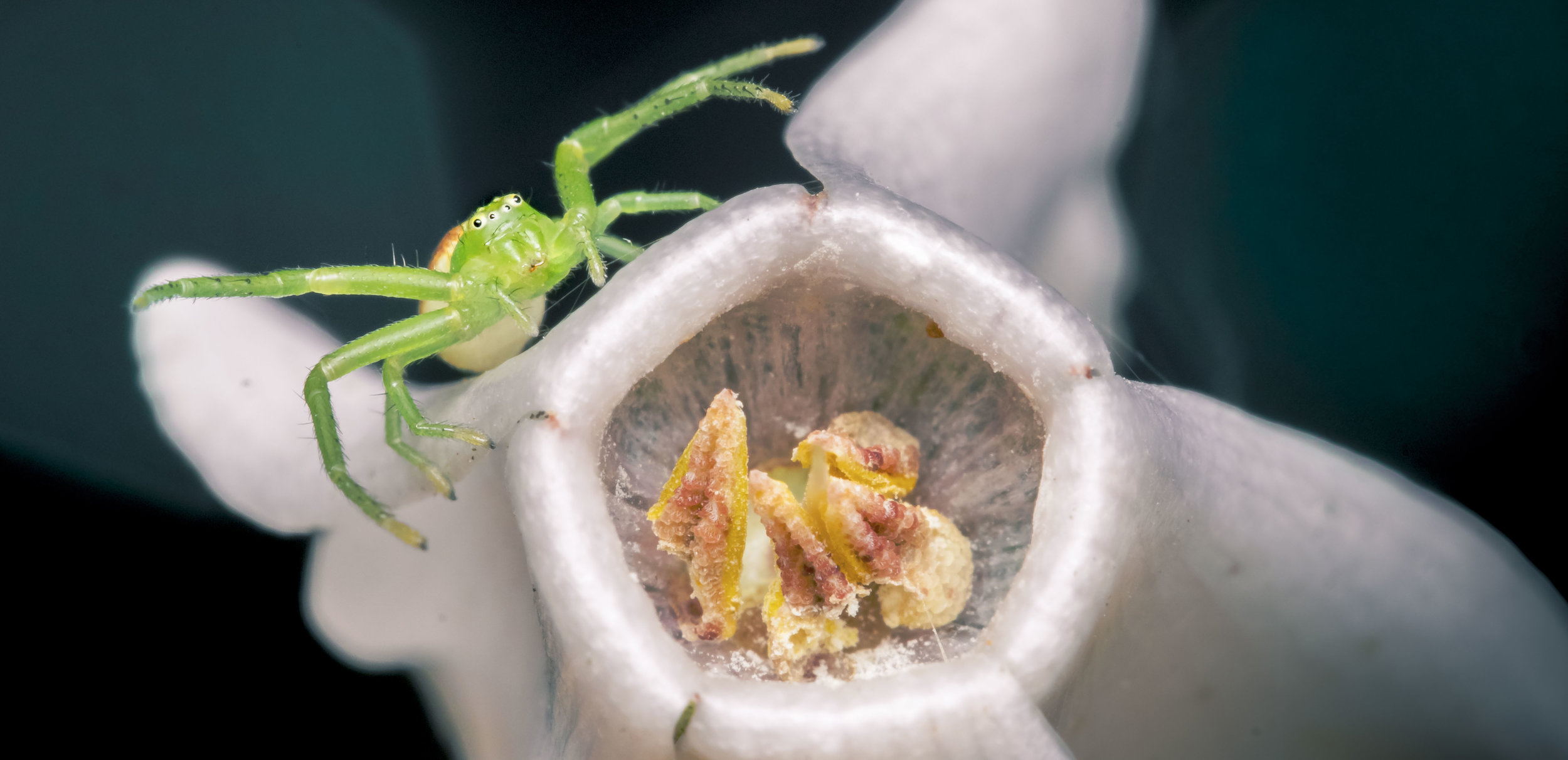GREEN CRAB SPIDER Diaea dorsata1.jpg