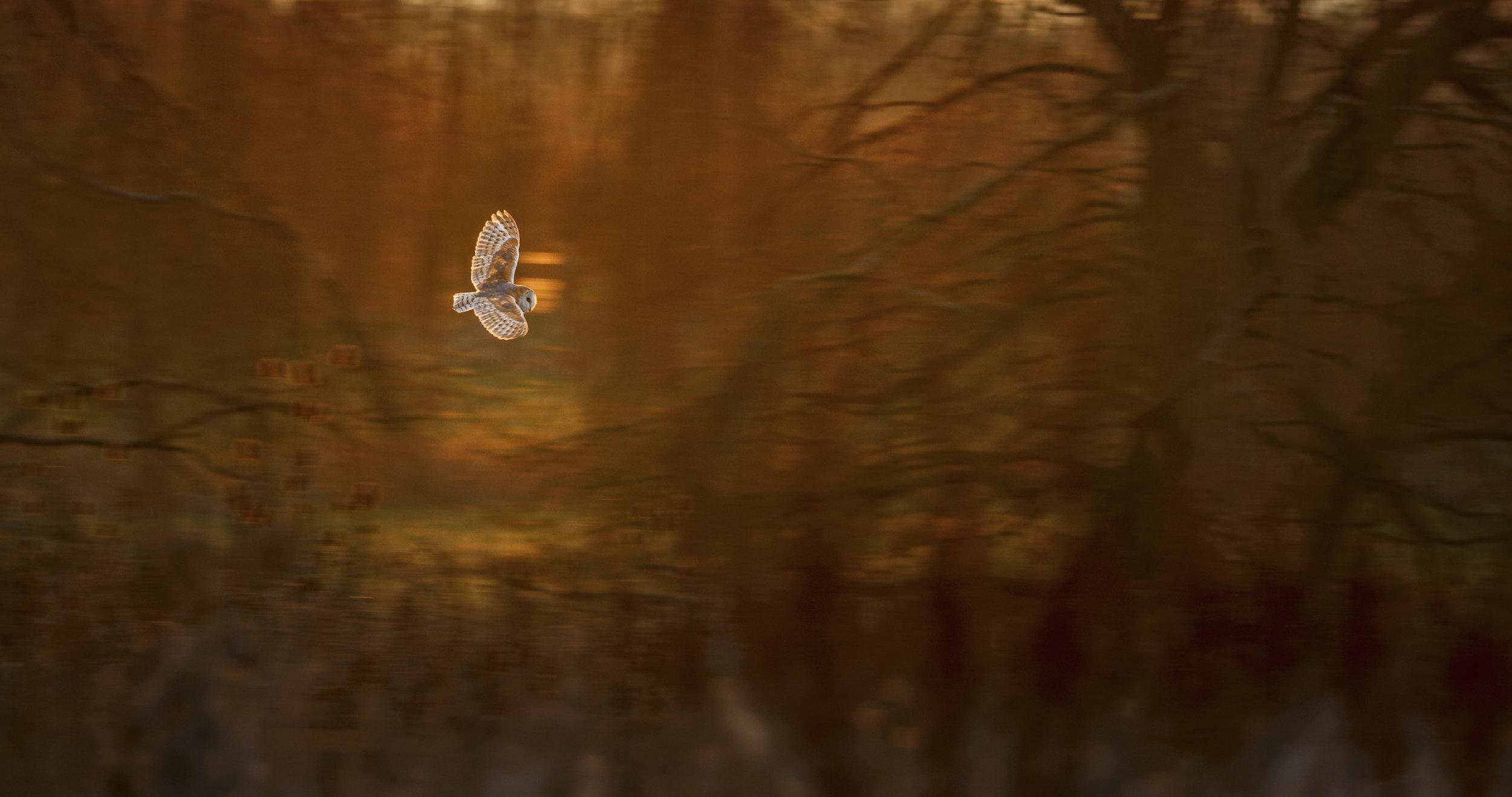 BARN OWL BABLOCK HYTHEA001_C012_1229WD.0000779.jpg