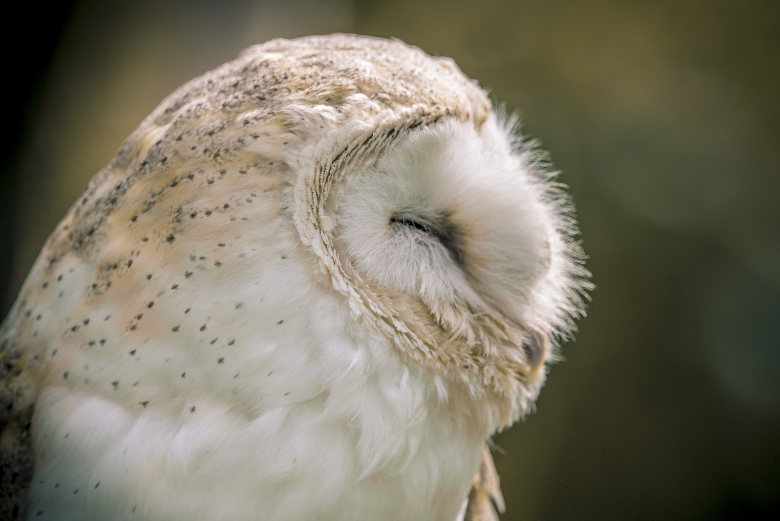 BARN OWL CLOSE UP0.jpg