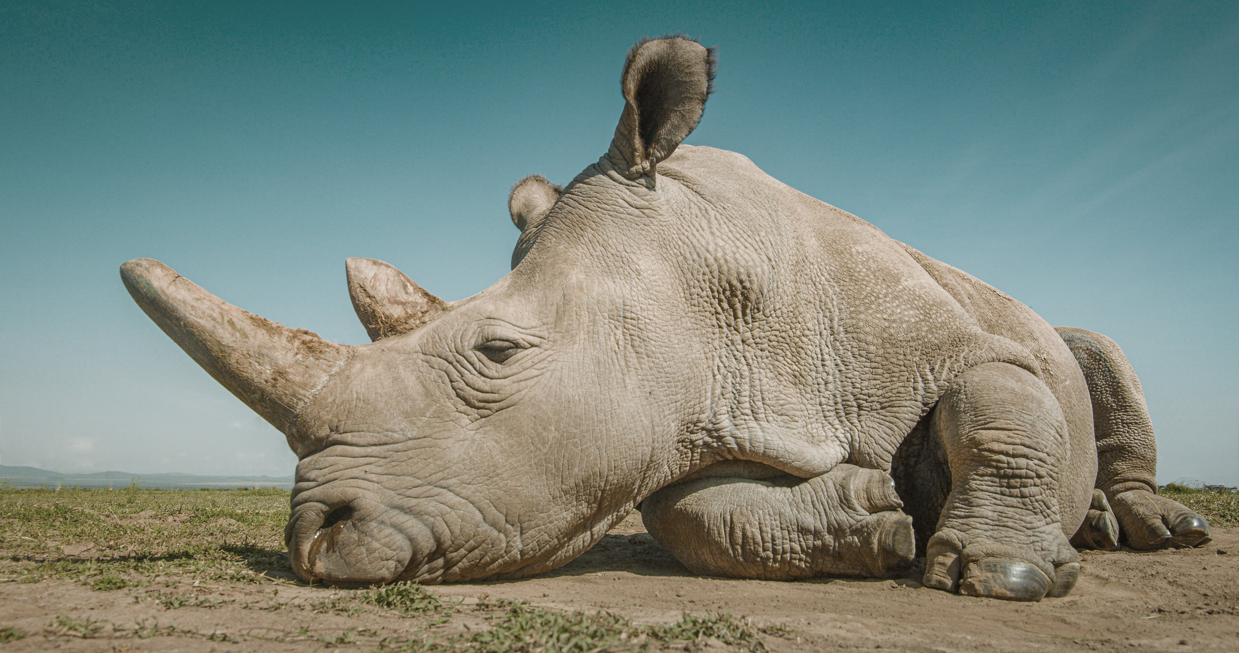 WHITE RHINO SLEEPING.0000018.jpg