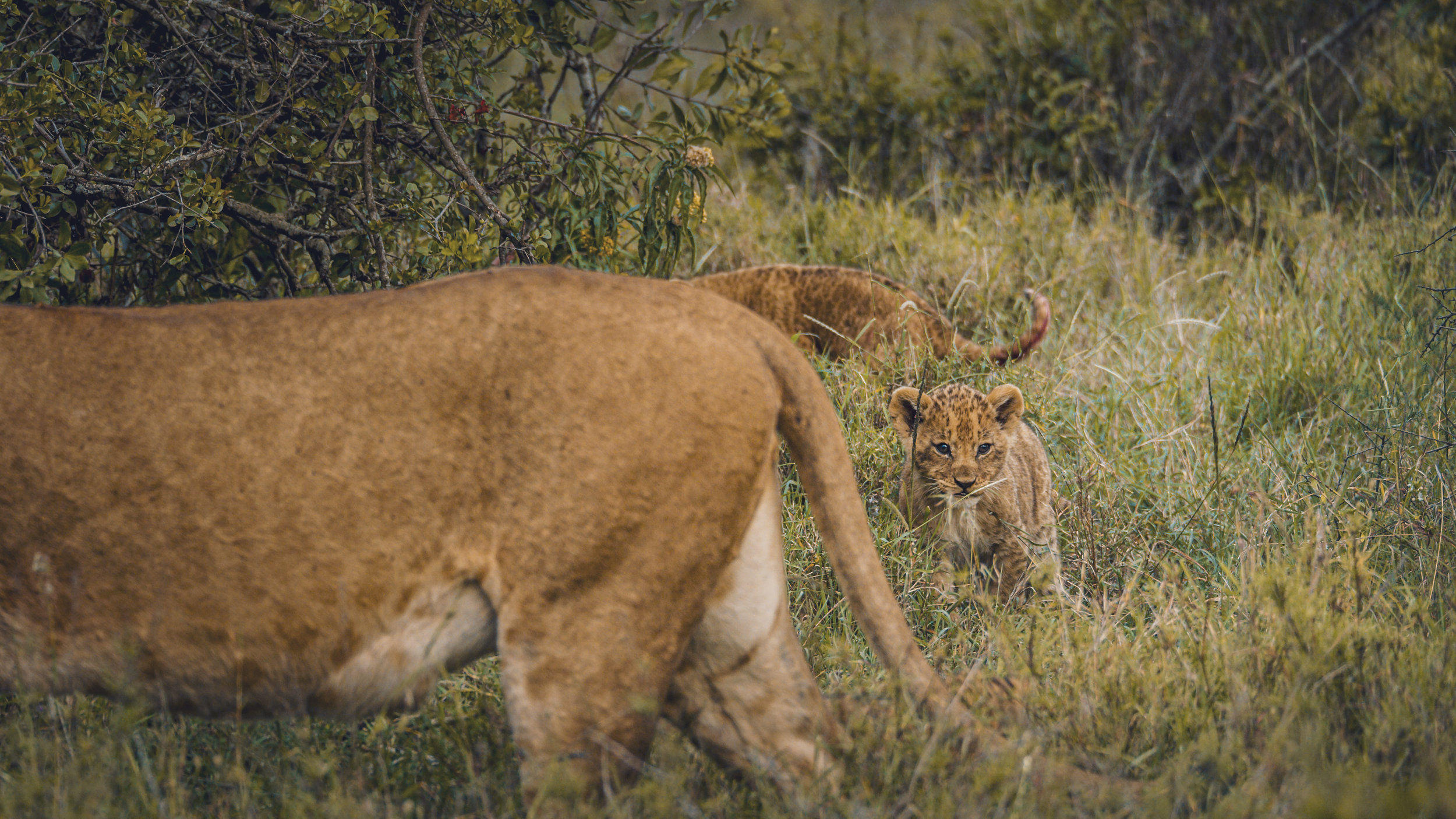 LION CUB FOLLOWING LIONESS.0001311.jpg