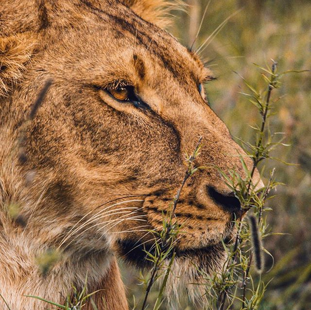 """Low Key"" (Pt 2)  Staying low allows lions like this one to be unseen by prey when getting into the crucial ""kill zone"". Lions hunting in pairs and groups have a success rate of 30%. Lions hunting singly by daylight have a success rate of 17 - 19%, but are the equal of groups at night reopening the debate as to why lions became the only sociable cat; maybe it is to control exclusive hunting grounds.  Most successful hunts are on dark nights in dense cover against a single prey animal.  One reason for lions' relatively low hunting success rate is that lions do not take into account wind direction when hunting; they often approach prey from an upwind direction thereby alerting the prey and ending the hunt.  Secondly, the lion's charge is generally launched directly at its quarry and it rarely alters the path of attack, as do other cats.  If you haven't already had a look at my IGTV for some cute little lion cubs...then go and have a look!  Still taken from @reddigitalcinema #scarletw #5k footage using a @sigmauk #sigma150600  #wildlife #wildlifefilmmaking #lion #lioness #hunt #hunting #predator #africa #kenya #wildlifeconservation #natureconservancy #safari #nature #naturalhistory #naturephotography #cat #bigcat #cats #red #reddigitalcinema #reduser #redcinema #cameraman #wildlifecameraman"
