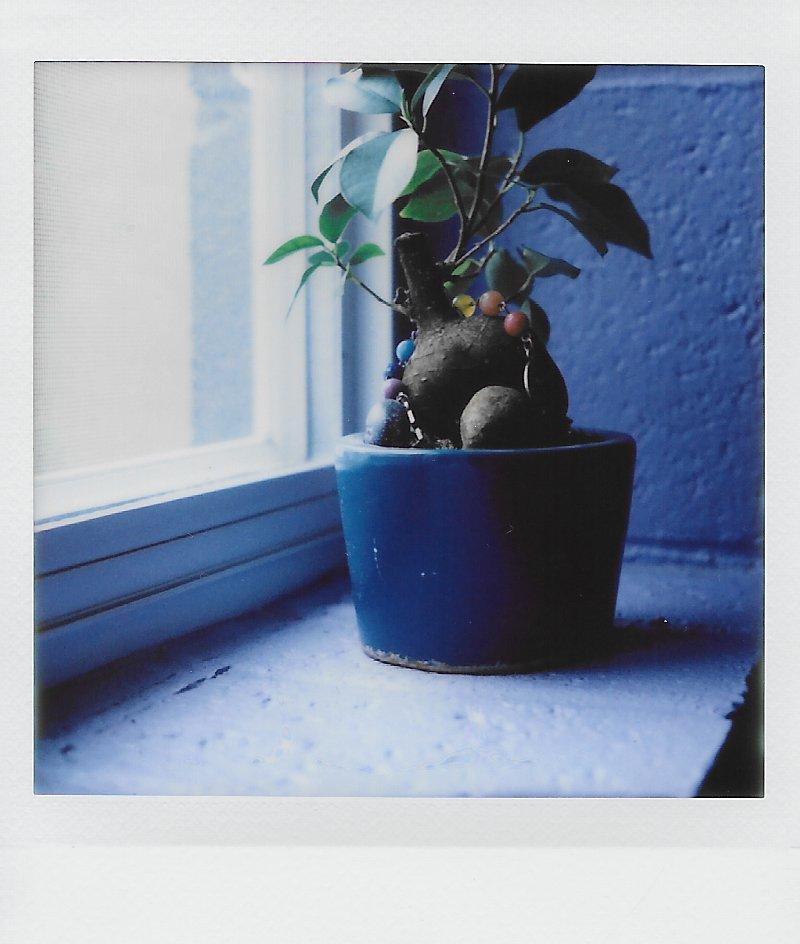 hagoyah plant.JPG