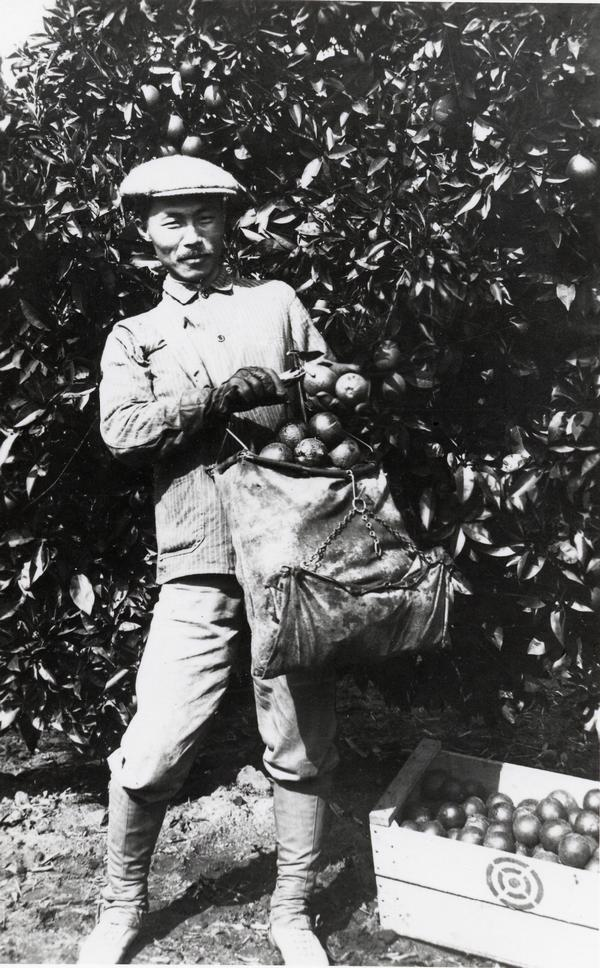 Dosan in Alta Cuesta Orchard (Riverside, CA in 1911)