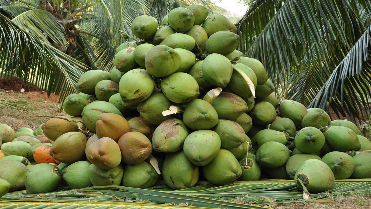 Harvested Coconuts