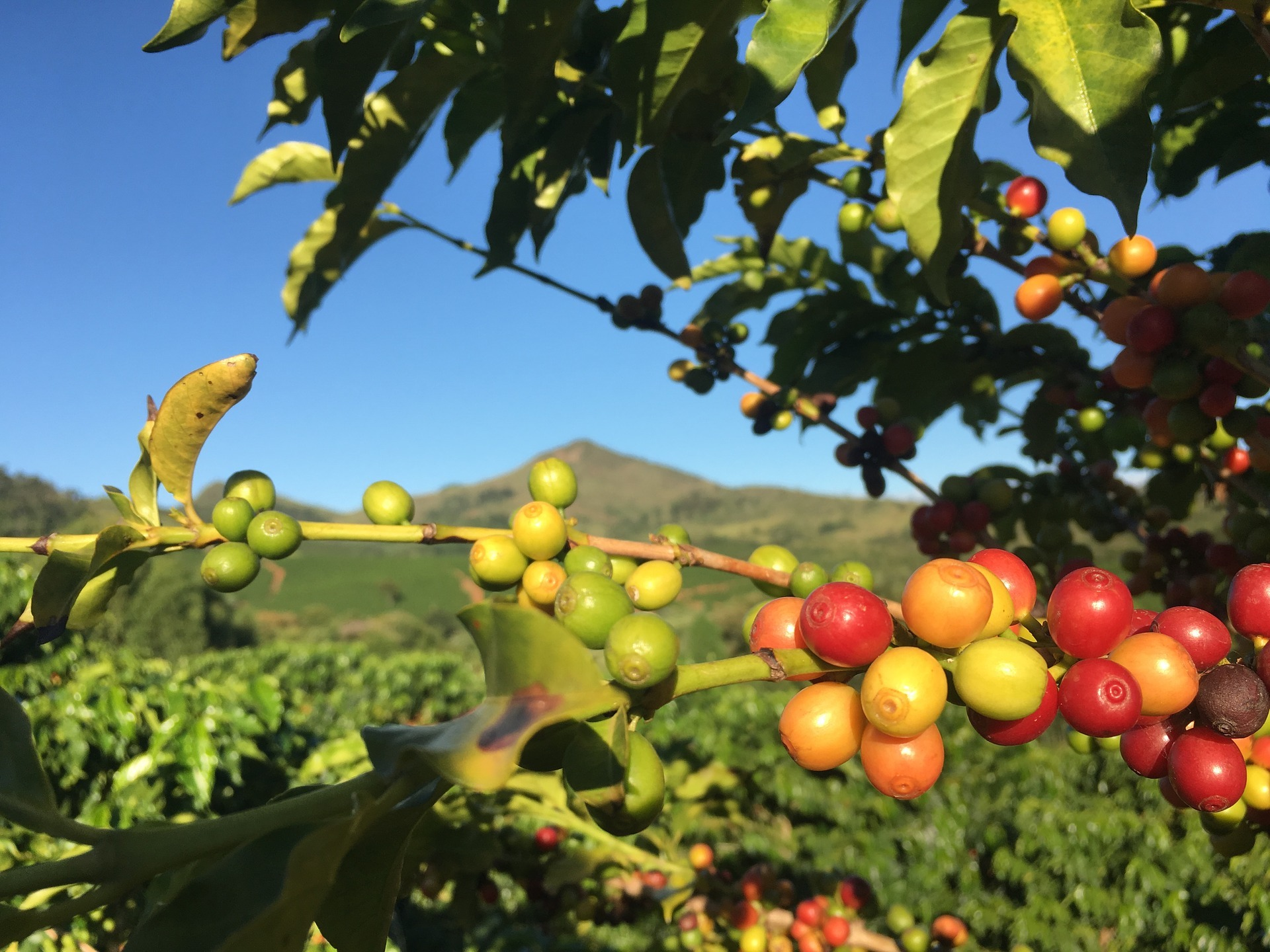 Coffee Cherries ripening on coffee plant