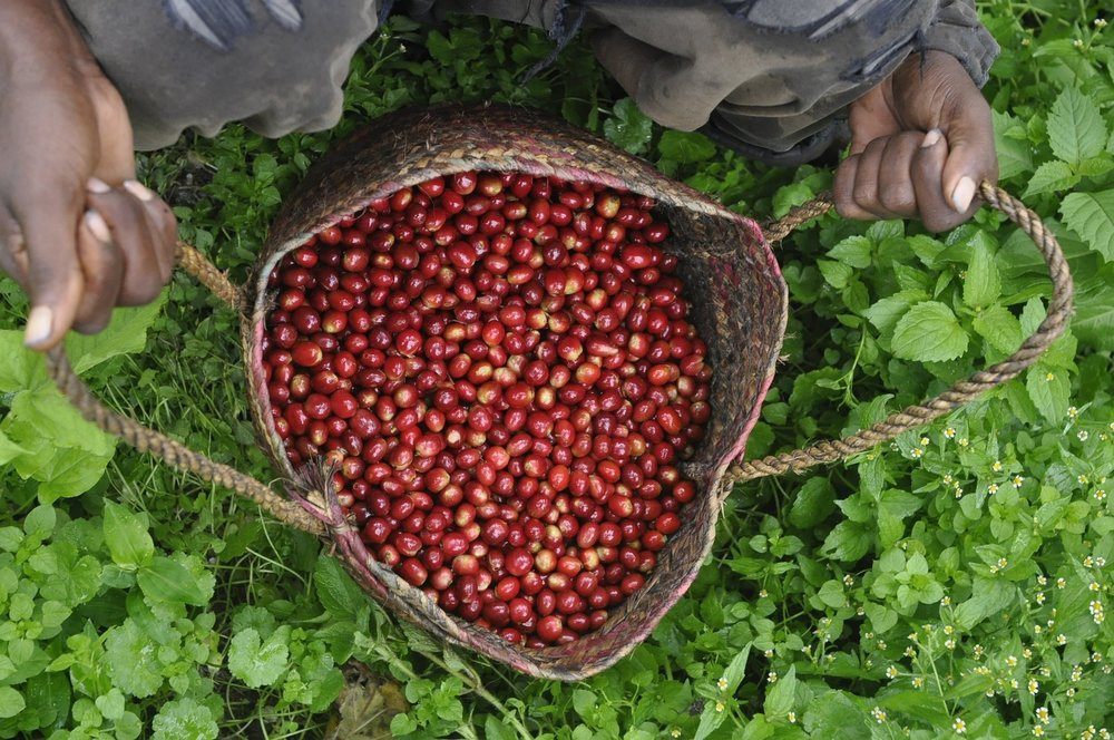 Coffee cherries in bag after harvest