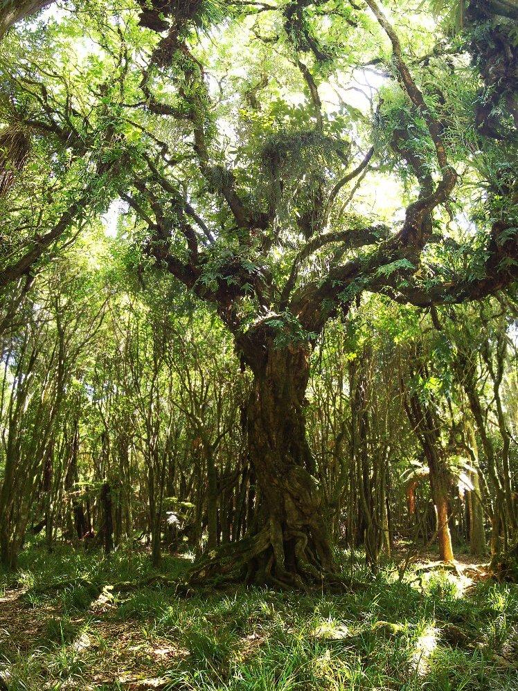 Gnarled ancient tree