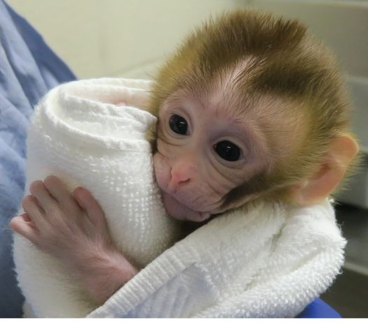 """Grady"" the graft-derived macaque at 2-week checkup.  Photo credit Fayomi et al. 2019"