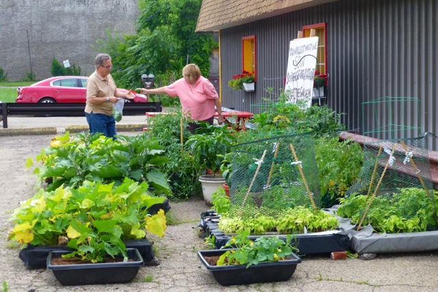 Picking the crop at the CCC 7-23-2014.jpg