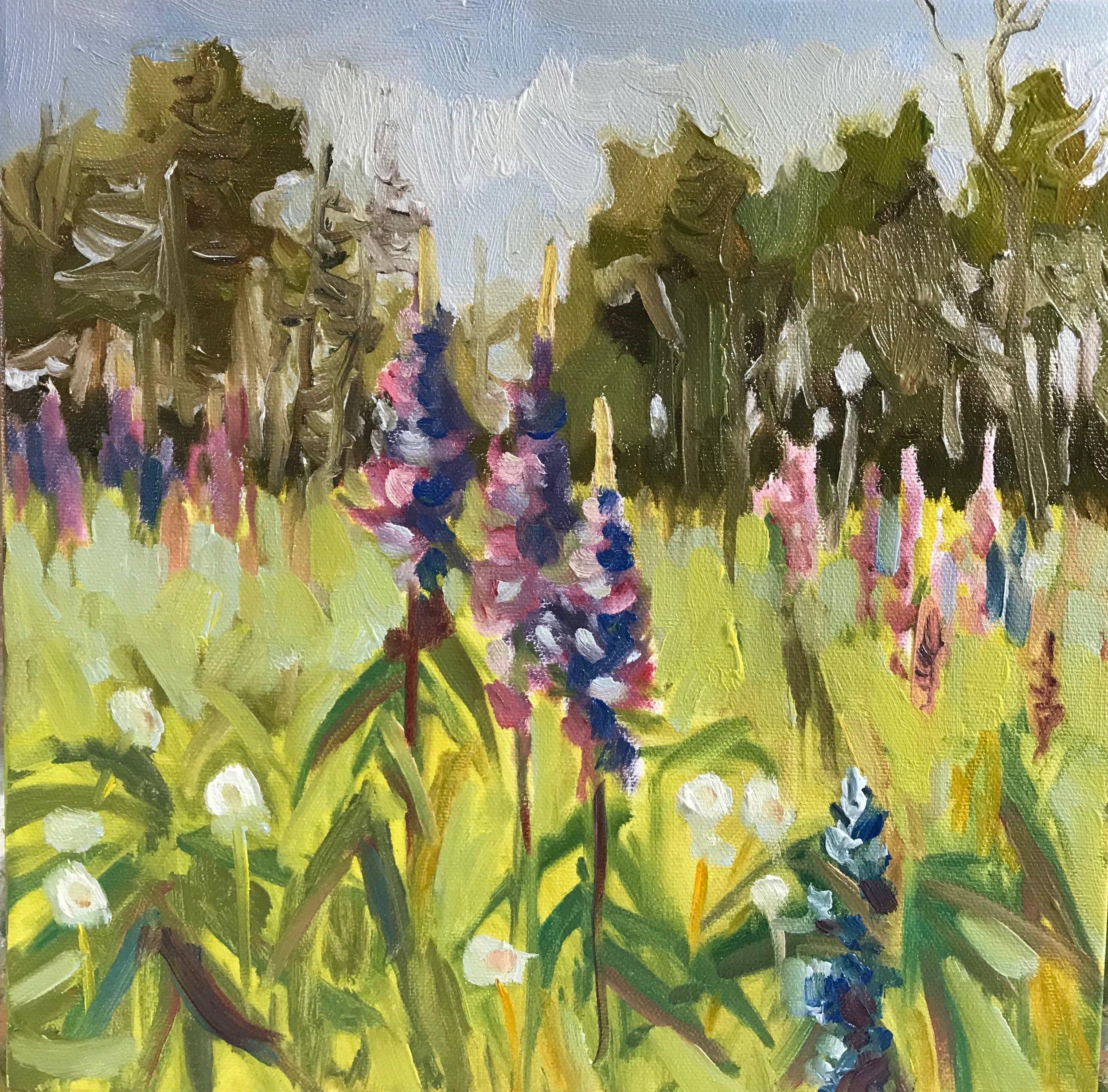Field of Lupine oil 12 x 12