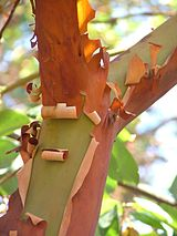 pacific madrone.jpg