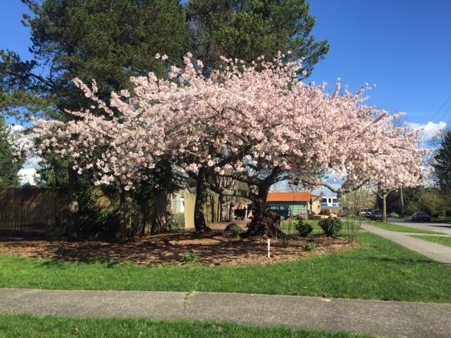 cherry-tree.jpg