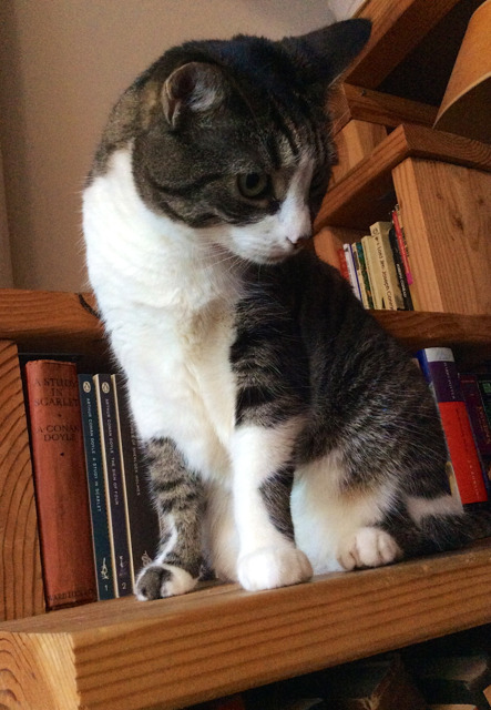 Orlando, a short-haired cat, standing on a bookshelf-stair and looking majestic.