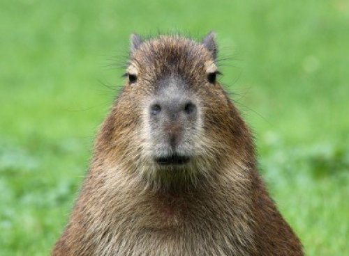 A capybara of extreme majesty, looking head-on into the camera.