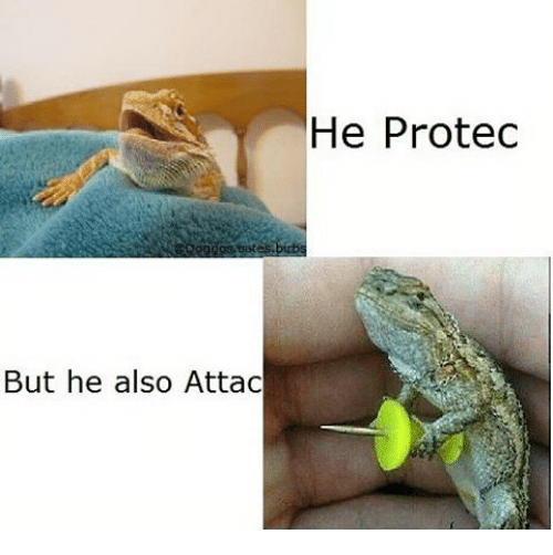 """A meme in which a tiny lizard is depicted looking unthreatening with the caption """"He protec,"""" then holding a pushpin like a sword with the caption """"But he also Attac""""."""
