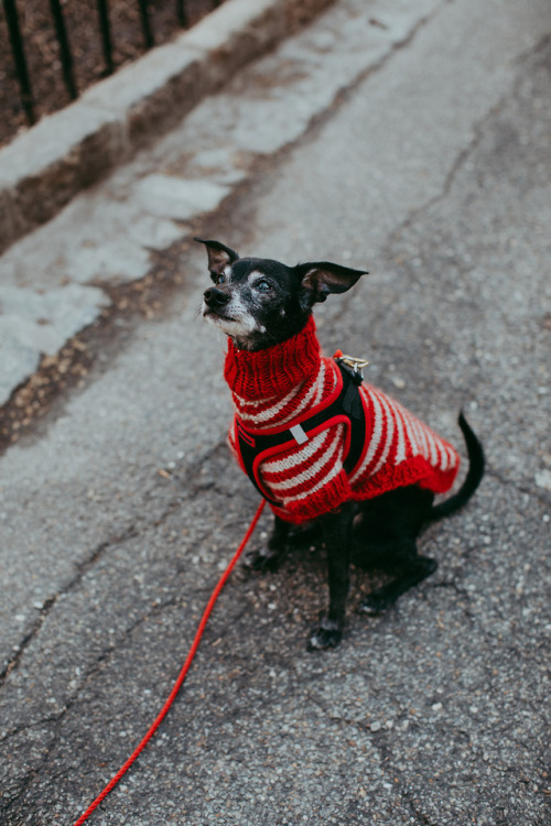 A very small black Italian greyhound-Chihuahua mix with white markings on his face wearing a red-and-white turtleneck sweater.