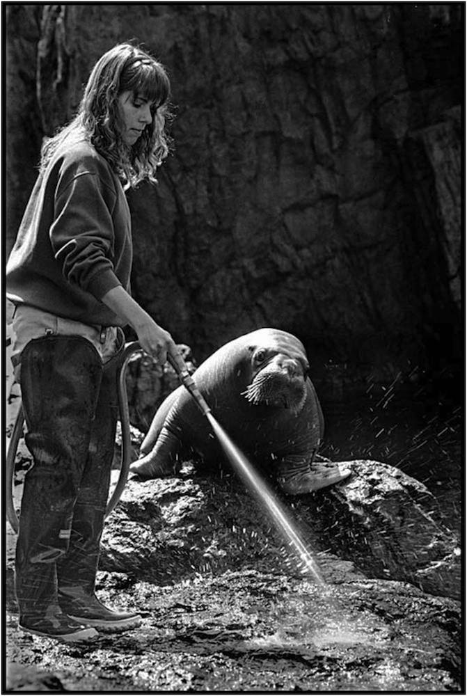 Lisa Nardone cleans walrus' habitat at the New York Aquarium in Coney Island, Brooklyn.1993.