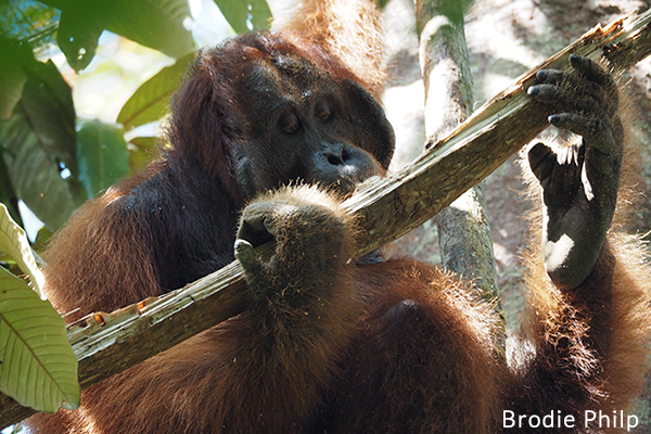 Photo-Orangutan-in-Gunung-Palung-National-Park-600x400px.jpg