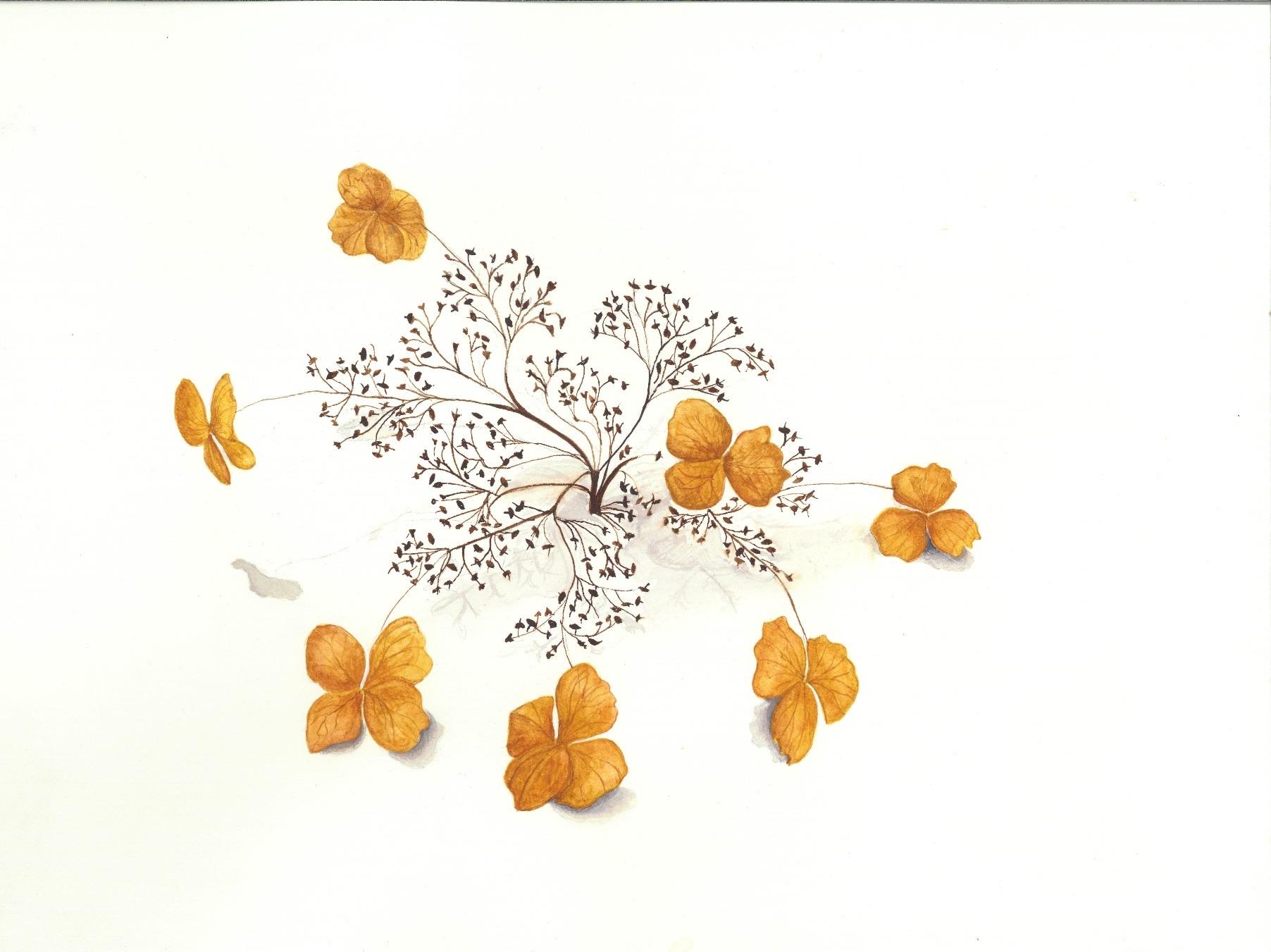 Dried, Dead, Climbing Hydrangea flower
