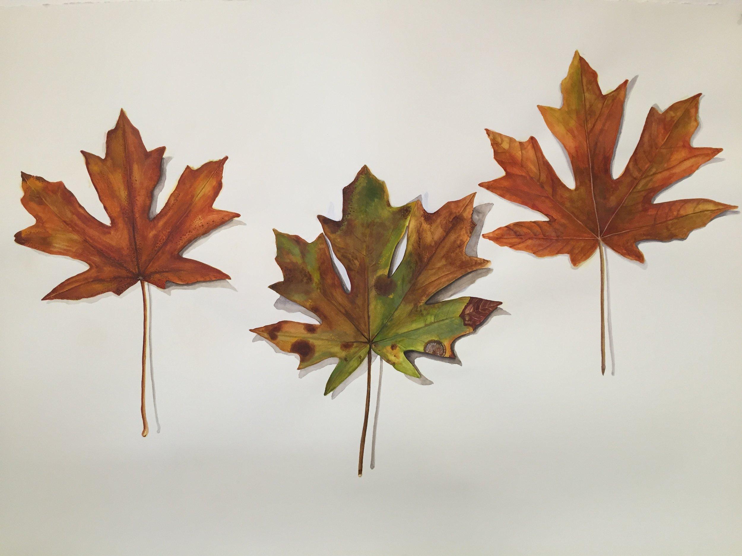 3 Big-Leaf Maple Leaves
