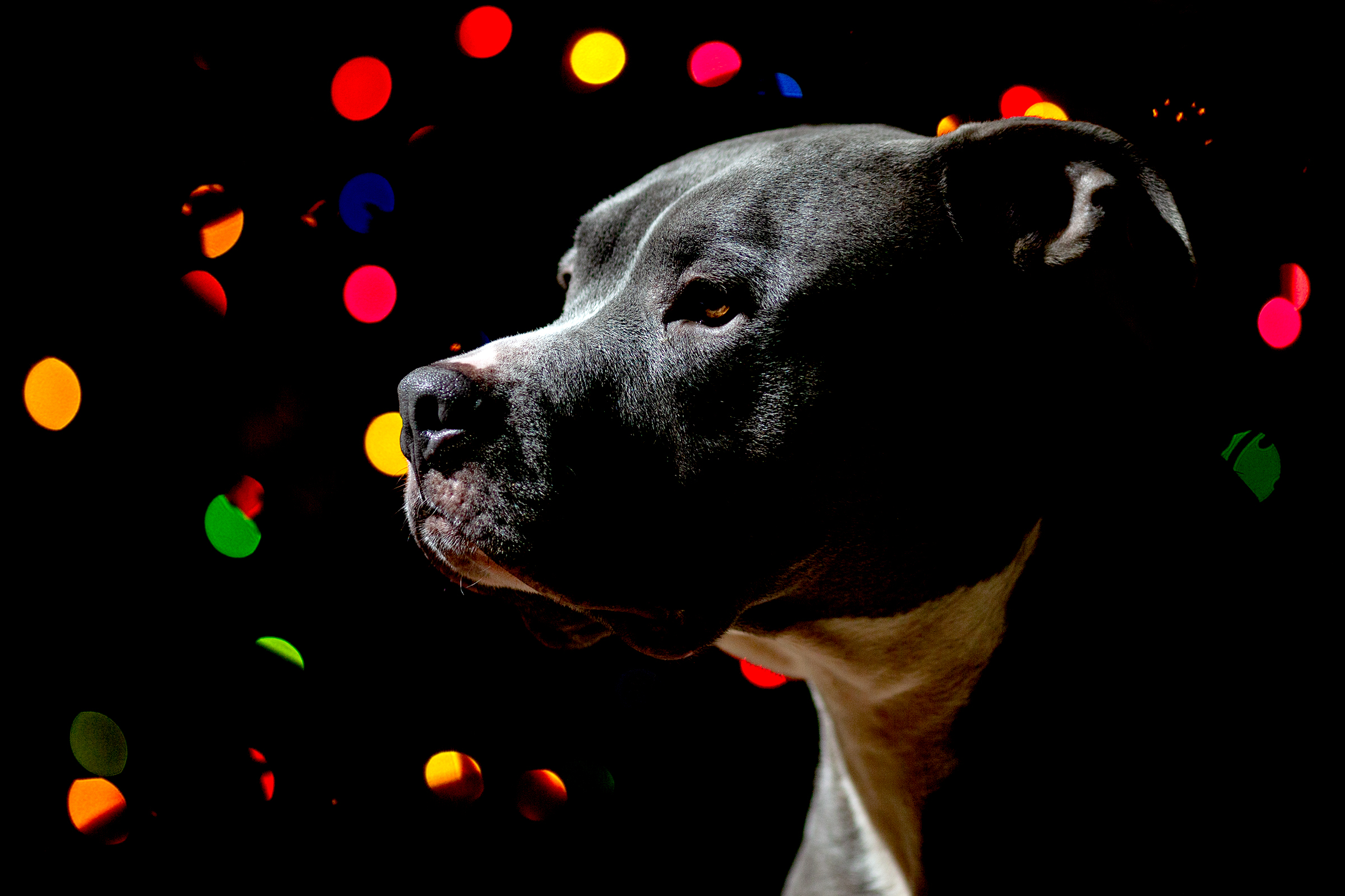 lake-tahoe-reno-dog-canine-photographer-photography-session-portrait-pets-portraits-studio-pit-pitbull-pitties-couch-lifestyle-home-christmas