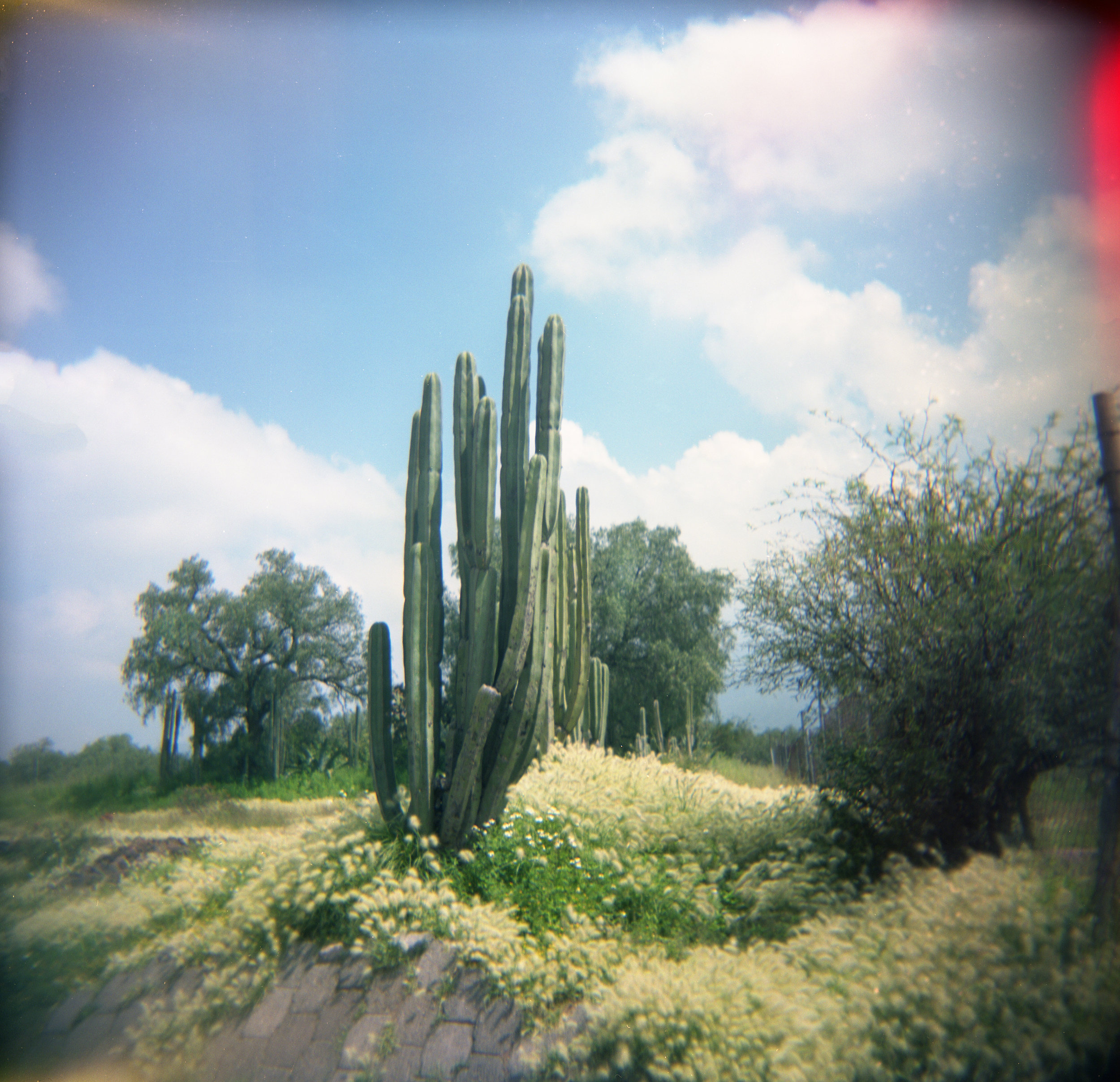 Wild Cactus, Teotihuacan