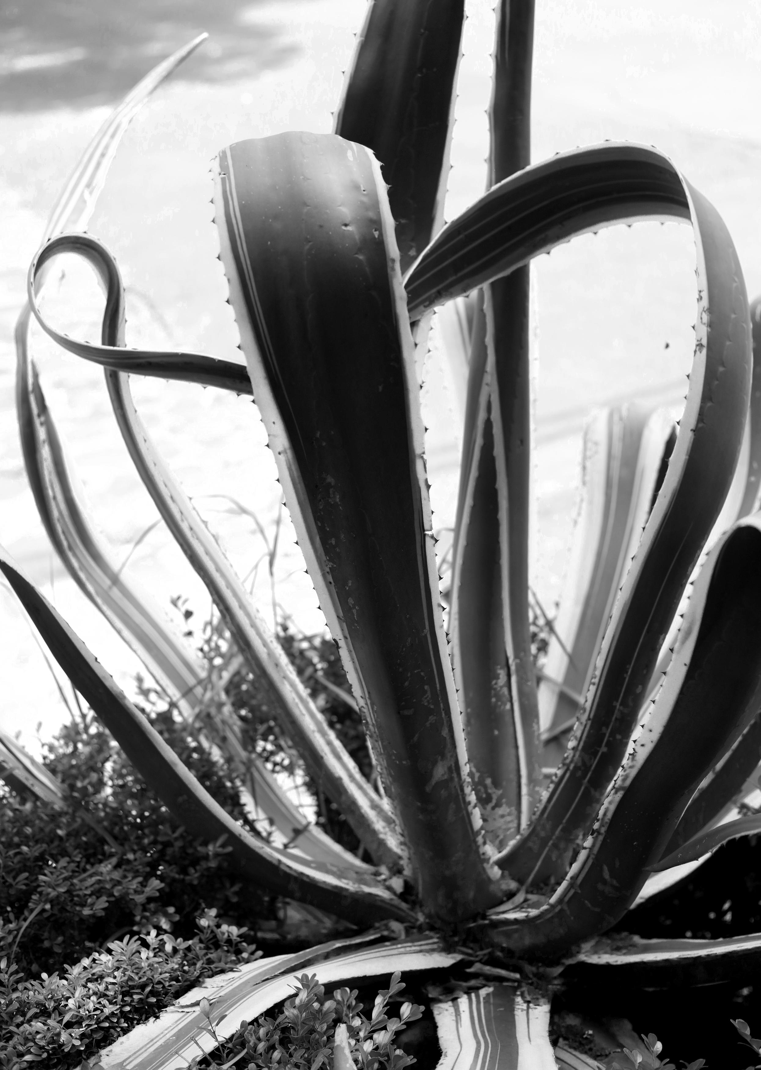 Aloe Plant, Black & White