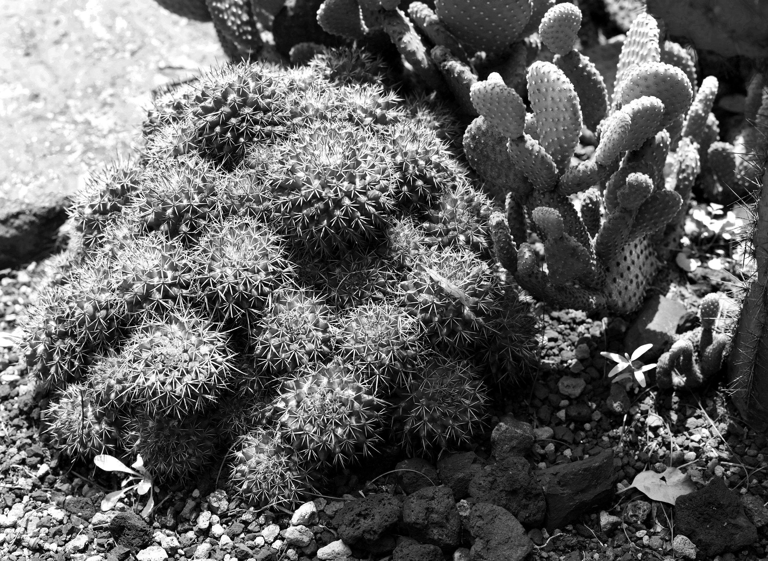 Cactus Garden, Black & White