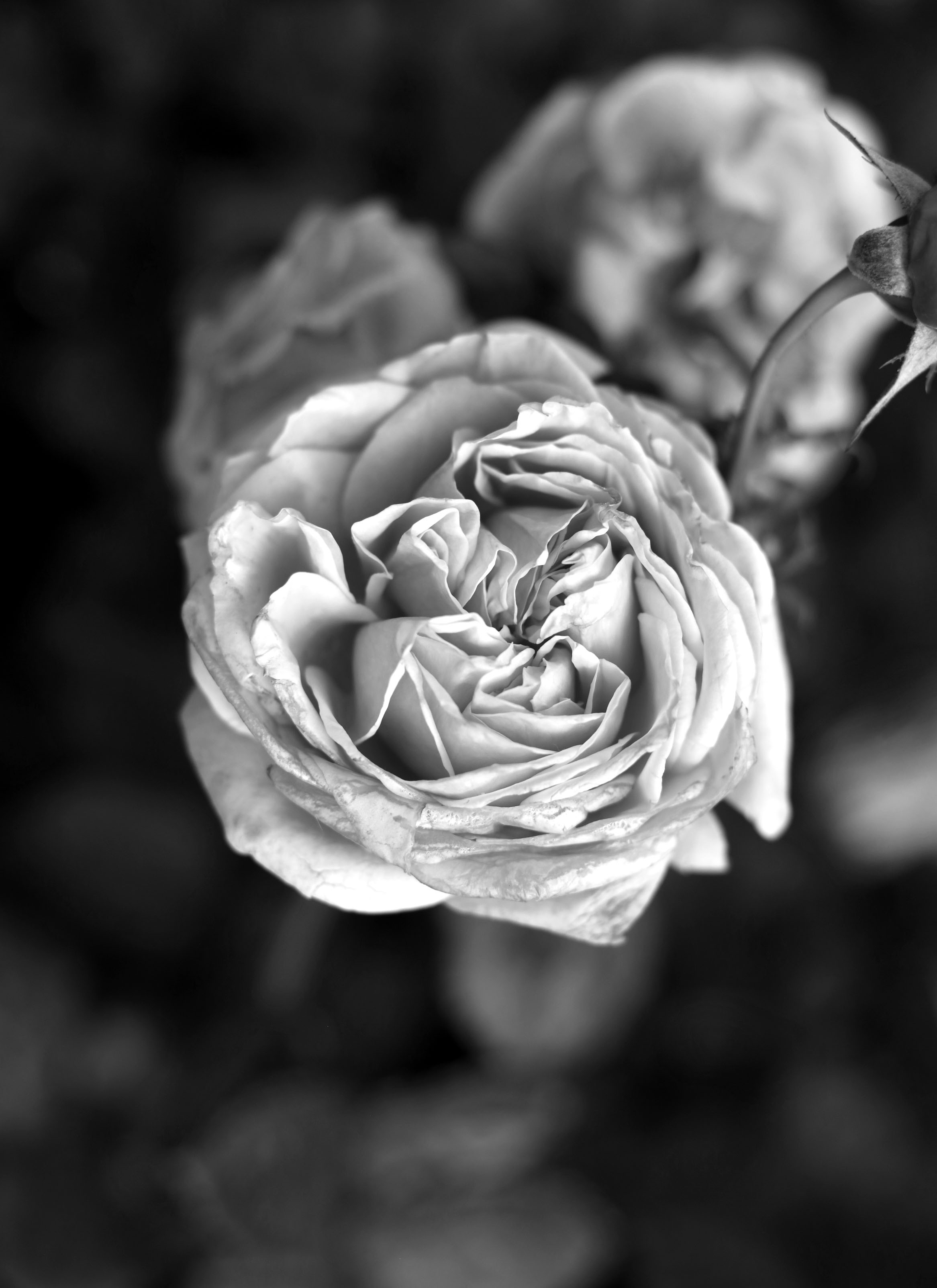 Black & White Rose