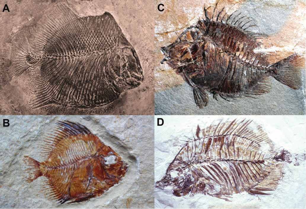 Fossils of reef fishes. (A) Brembodus ridens, (B) Pycnosteroides levispinosus, (C) Eorandallius rectifrons, & (D) Chaetodon ficheuri.  Source: Bellwood et al. 2015. The evolution of fishes on coral reefs: fossils, phylogenies and functions. In: Ecology of Fishes on Coral Reefs: The Functioning of an Ecosystem in a Changing World.