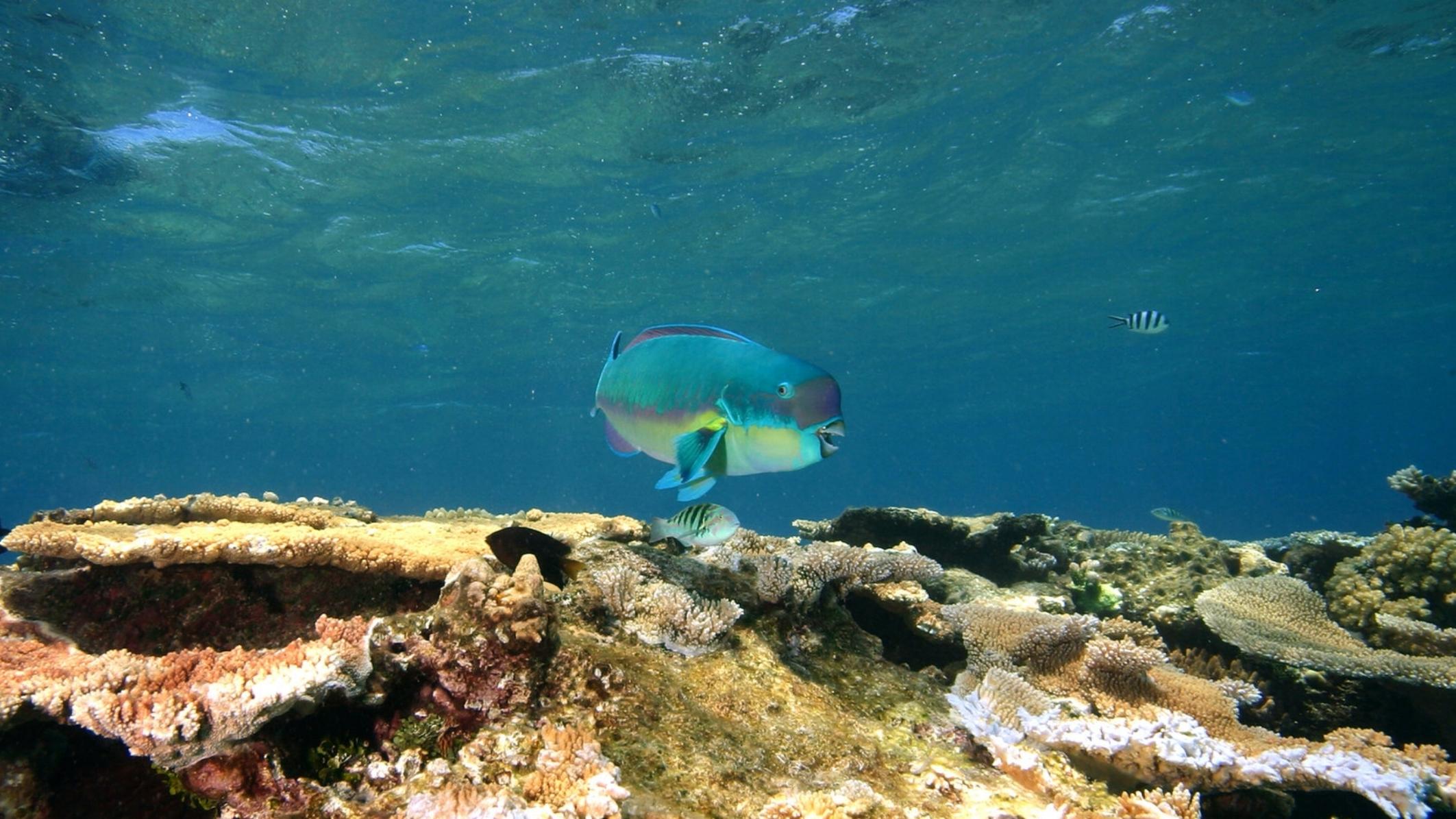 A steephead parrotfish  Chlorurus microrhinos . © J.P. Krajewski.