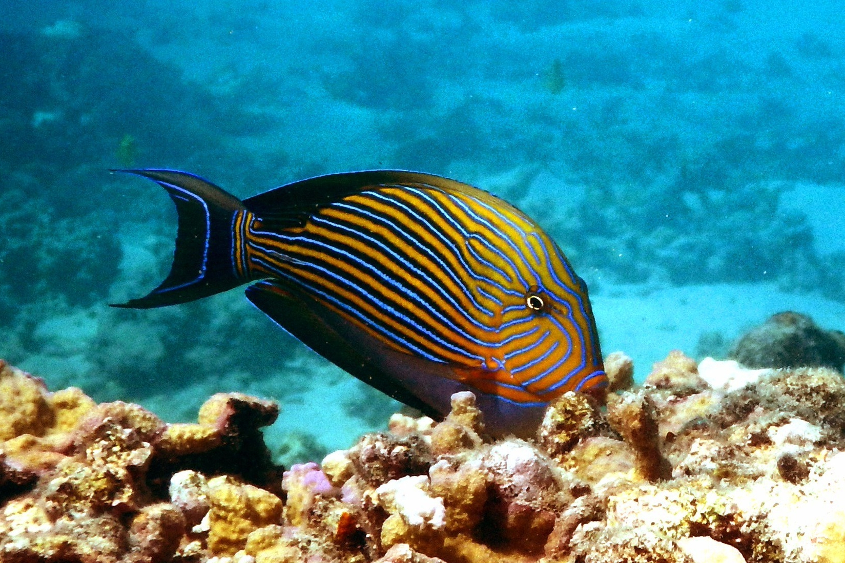 A lined surgeonfish (Acanthurus lineatus). © S.B. Tebbett.