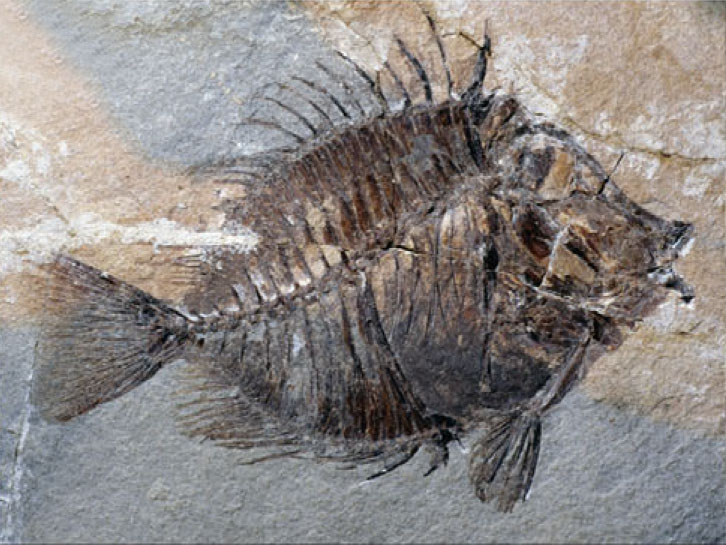 Fish Fossil.jpg