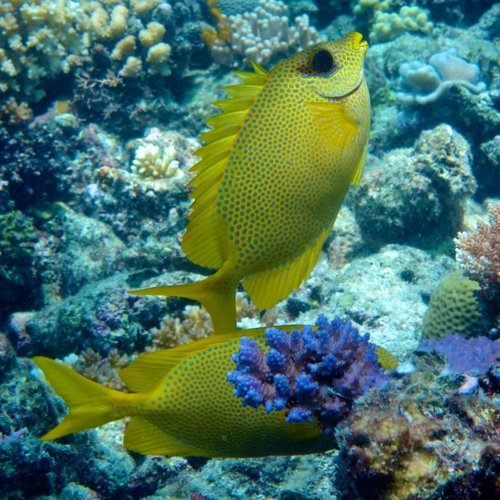 Rabbitfish Pair.jpg